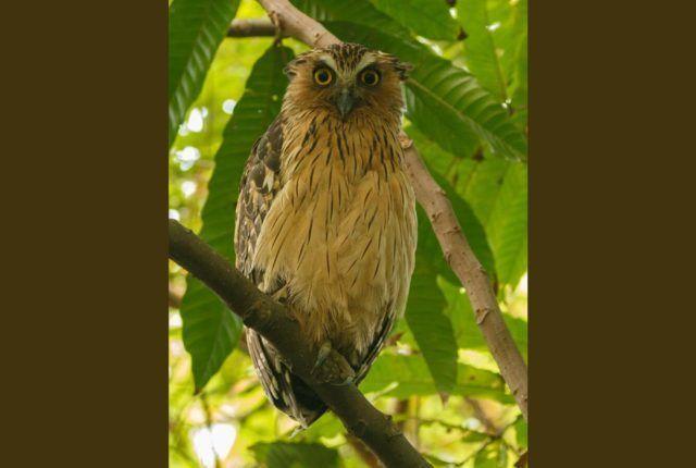 Sungei Buloh Owl